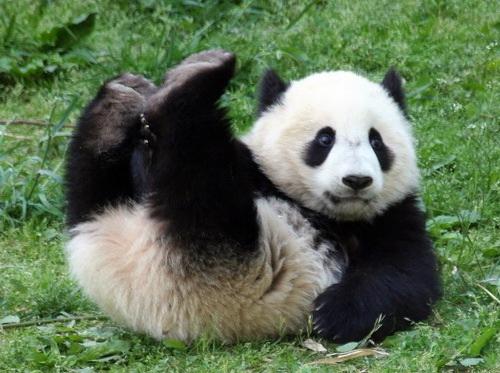 https://fregataero.ru/images/china/chendu/pitomnik_pand/panda_2.jpg